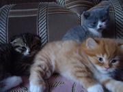 Шотландские котятки ищут хозяев