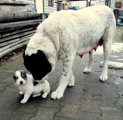 Среднеазиатской овчарки ( туркменский алабай, волкодав